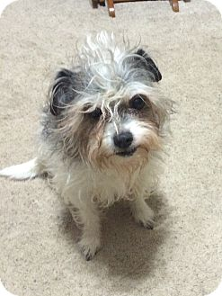 Shih Tzu/Rat Terrier Mix Dog for adoption in Prole, Iowa - Bocefus