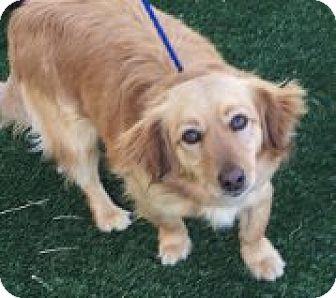 Dachshund/Cocker Spaniel Mix Dog for adoption in Las Vegas, Nevada - Tucker