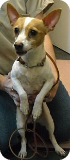 Jack Russell Terrier/Chihuahua Mix Dog for adoption in Fort Walton Beach, Florida - Sally