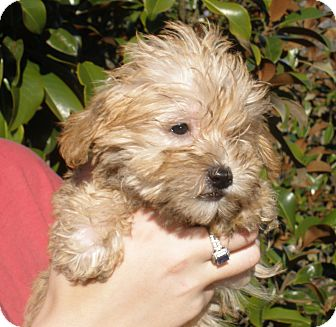 Shih Tzu/Poodle (Toy or Tea Cup) Mix Puppy for adoption in Pewaukee, Wisconsin - BERT - 2 lbs of fluff