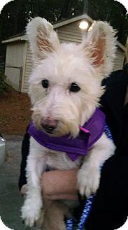 Westie, West Highland White Terrier/Scottie, Scottish Terrier Mix Dog for adoption in Savannah, Georgia - Baby
