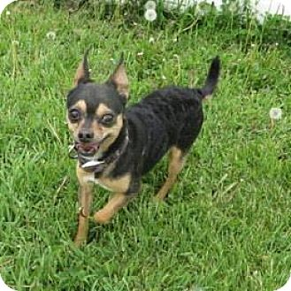 Chihuahua Mix Dog for adoption in Janesville, Wisconsin - Sheldon