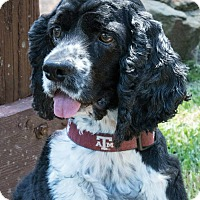 Adopt A Pet :: Sammy - Sugarland, TX