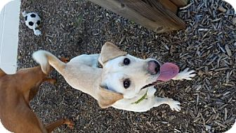 Labrador Retriever/Jindo Mix Dog for adoption in Alexandria, Virginia - Tulip