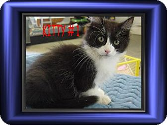 Calico Kitten for adoption in Cushing, Oklahoma - x HUNKY adopted