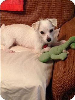 Chihuahua/Maltese Mix Dog for adoption in Rochester, New York - Dash