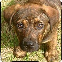 Adopt A Pet :: Ice - Austin, TX