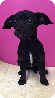 Chihuahua Mix Puppy for adoption in Houston, Texas - Lassie