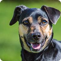 Adopt A Pet :: Arthur - Ile-Perrot, QC