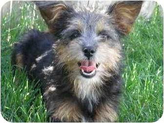 Yorkie, Yorkshire Terrier/Terrier (Unknown Type, Small) Mix Puppy for adoption in Manahawkin, New Jersey - Prancer & Dancer