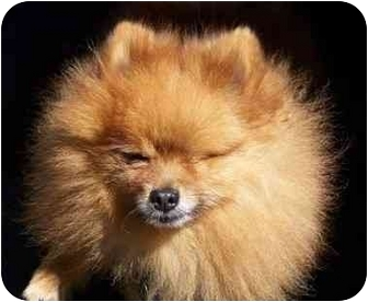 Pomeranian Dog for adoption in Seattle c/o Kingston 98346/ Washington State, Washington - puddy