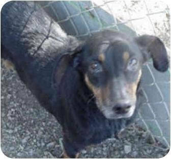 Dachshund Mix Dog for adoption in Spring Valley, California - MIKKI