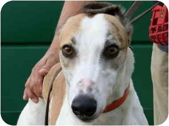Greyhound Dog for adoption in Columbus, Ohio - Aaron