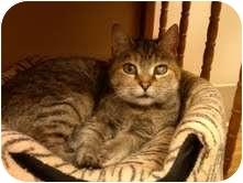 Domestic Shorthair Cat for adoption in Medina, Ohio - Miss Kitty