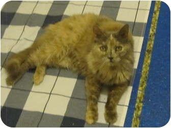 Calico Cat for adoption in Los Angeles, California - Ava
