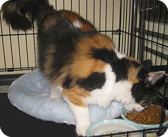 Maine Coon Cat for adoption in Dallas, Texas - Abagail