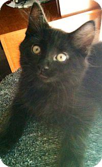 Domestic Longhair Kitten for adoption in Hendersonville, Tennessee - Wilson