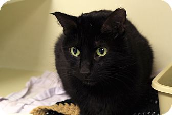 Domestic Shorthair Cat for adoption in Chicago, Illinois - Luca