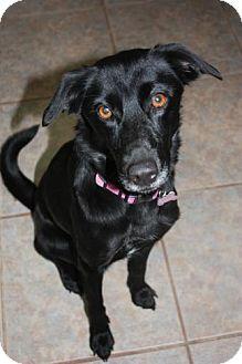 Labrador Retriever Mix Dog for adoption in Stilwell, Oklahoma - Sophie