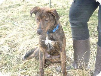 Labrador Retriever Mix Dog for adoption in Zanesville, Ohio - # 556-12 @ Animal Shelter