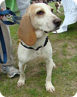 Basset Hound/Beagle Mix Dog for adoption in Acushnet, Massachusetts - Jake
