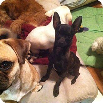 Chihuahua Mix Dog for adoption in Rancho Cucamonga, California - Nera