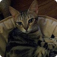 Adopt A Pet :: Iridessa - Sokoke Breed - Columbus, OH