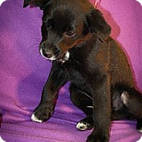 Adopt A Pet :: Mogul - Broomfield, CO