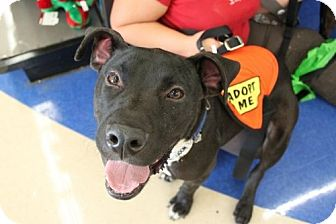 American Bulldog Mix Dog for adoption in Homestead, Florida - Jasper