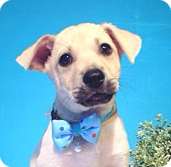 Labrador Retriever Mix Puppy for adoption in Castro Valley, California - Markos