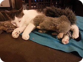 Domestic Shorthair Kitten for adoption in Royal Palm Beach, Florida - Susie Q