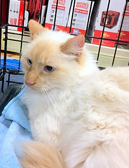 Siamese Cat for adoption in Madisonville, Louisiana - Marie