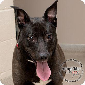 Labrador Retriever/Husky Mix Dog for adoption in Troy, Ohio - Kia-ADOPTED