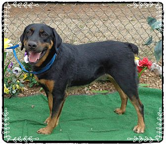 Rottweiler Mix Dog for adoption in Marietta, Georgia - ELLEOS (R)