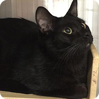 Domestic Mediumhair Cat for adoption in Daytona Beach, Florida - Dragon