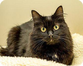 Domestic Mediumhair Cat for adoption in Bellingham, Washington - Fiona