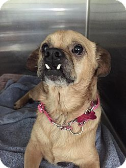 Pug/Beagle Mix Dog for adoption in Arden, North Carolina - Little Paul