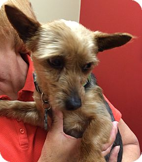 Yorkie, Yorkshire Terrier Dog for adoption in Fairview Heights, Illinois - Hobart