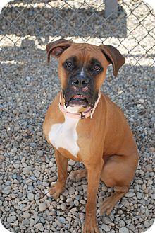 Boxer Mix Dog for adoption in Berea, Ohio - Bronx