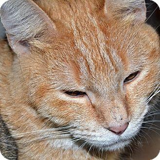 Domestic Shorthair Cat for adoption in Wheaton, Illinois - Eliza