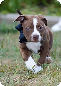 Pit Bull Terrier Puppy for adoption in Vancouver, Washington - Churro