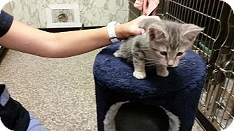 American Shorthair Kitten for adoption in Marlton, New Jersey - Autumn