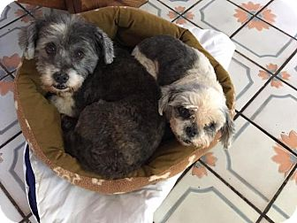 Shih Tzu/Lhasa Apso Mix Dog for adoption in Pittsburgh, Pennsylvania - Lulu and JC BONDED PAIR