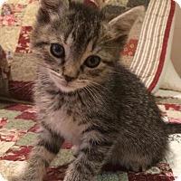 Adopt A Pet :: Atticus - River Edge, NJ