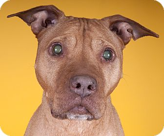 American Pit Bull Terrier Dog for adoption in Chicago, Illinois - Alice