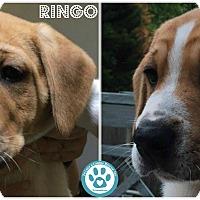 Adopt A Pet :: Ringo - Kimberton, PA