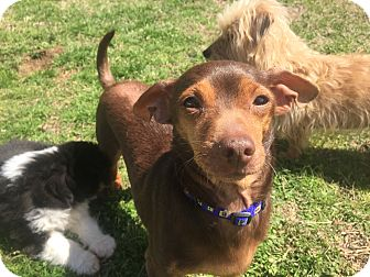 Dachshund/Chihuahua Mix Dog for adoption in Windham, New Hampshire - Dude (ETAA)