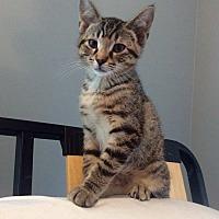 Adopt A Pet :: Stormy - LaGrange Park, IL
