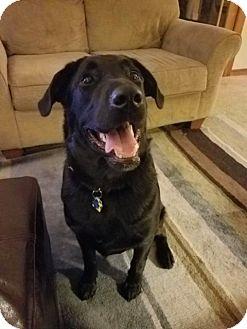 Labrador Retriever/Mixed Breed (Medium) Mix Puppy for adoption in Barrington Hills, Illinois - BB Boy