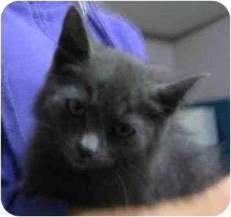 Domestic Shorthair Kitten for adoption in Okotoks, Alberta - Sky
